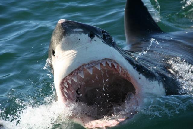 Adrian's great white shark