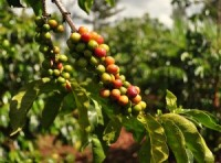 brazilian-coffee-beans-300x223